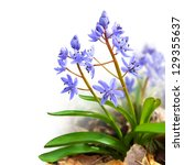 Small photo of Flower design - floral border made of Scilla bifolia (two-leaf squill or alpine squill) isolated on white