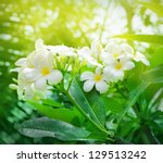 Frangipani flowers - stock photo
