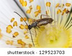 Small photo of Tobacco coloured longhorn beetle, Alosterna tabacicolor feeding on flower