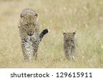Female African Leopard (Panthera pardus) walking in the Serengeti National Park, with her small cub, Tanzania - stock photo