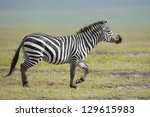 Common Zebra Stallion running in the Ngorongoro Crater in Tanzania. - stock photo