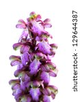 Small photo of Wild orchid (Barlia robertiana aka Himantoglossum robertianum) that can be found in Arr�¡bida mountains, Portugal. Flower closeup detail isolated over white.