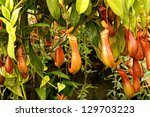 Pitcher Plant Background