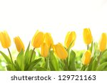 Yellow Tulips On White...