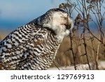 snowy owl  bubo scandiacus . ...