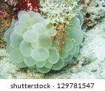 Soft Coral And Crab