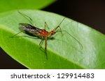 cantharis livida   Shutterstock . vector #129914483