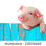 Funny pig hanging on a fence. Studio photo. Isolated on white background. - stock photo