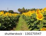 Sunflower Field In Kerala. India