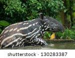 Malayan Tapir   Tapirus Indicu...