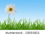 Camomile Flower In Green Grass...
