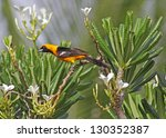 Small photo of An Altamira Oriole (Icterus gularis) sitting in a palm tree in the Mayan Riviera, Mexico.