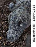 head of alligator in the zoo ... | Shutterstock . vector #130442813