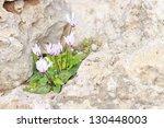 Cyclamen Cyprium  Cyprus...