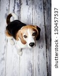 Cute Hunting Dog  Portrait On...