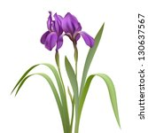 Purple Iris Flowers Isolated O...