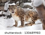 Snow Leopard Stand On Snow