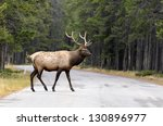 Male Elk Or Wapiti  Cervus...
