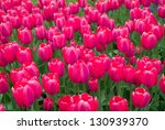 Field of colorful pink tulips in the spring - stock photo