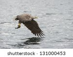 A White Tailed Eagle Flying...