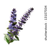 Small photo of Two ajuga reptans bugleweed flowers isolated on white background
