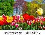 Colorful Tulips In The Park....