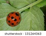 ladybug | Shutterstock . vector #131264363