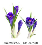 Bouquet of crocuses. Isolated on white background - stock photo