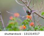 Small photo of An amethyst woodstar hummingbird flying