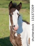 Portrait of nice foal - irish cob - stock photo