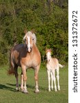 Mother with her foal - haflinger - stock photo