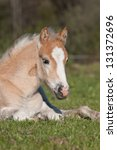 Nice foal lying - haflinger - stock photo
