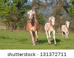 Three horses running - haflinger - stock photo