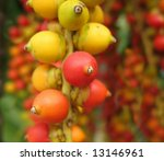 Small photo of Fruit of the Christmas Palm -- this tree is also called Manila Palm or in Latin Adonidia Merrillii