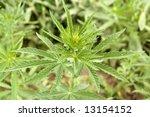 hemp | Shutterstock . vector #13154152