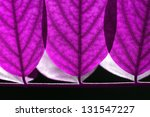 Close up of fresh leaves in forest (acacia) in lilac color - stock photo
