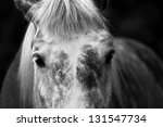 Forehead of a beautiful gray horse - stock photo