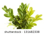 Buxus isolated on white background - stock photo