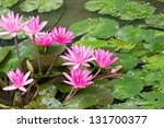 Pink Lotus Blossoms
