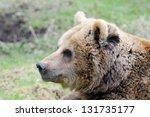 Brown Bear Closeup Profile In...