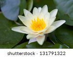 Beautiful water lily on the water's surface - stock photo