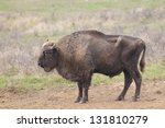 European Bison Bull in autumn - stock photo