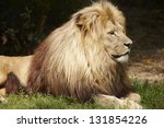 Lion resting on the grass - stock photo