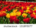 Yellow And Red Tulips Flower...