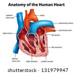 anatomy of the human heart... | Shutterstock .eps vector #131979947