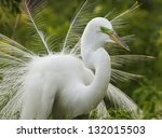 Great White Egret In Mating...