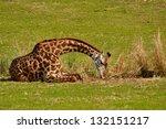 Baby Giraffe Grazing