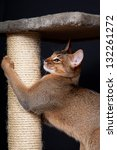 Portrait of nice cat - abyssinian cat - stock photo
