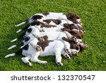 Five sleeping puppies - english springer spaniel - stock photo