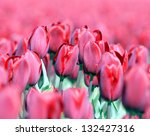field with tulips in Holland - stock photo